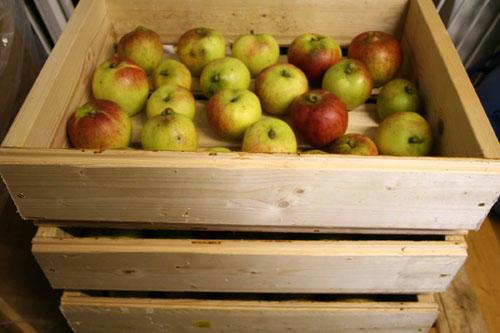 Overwintering apples