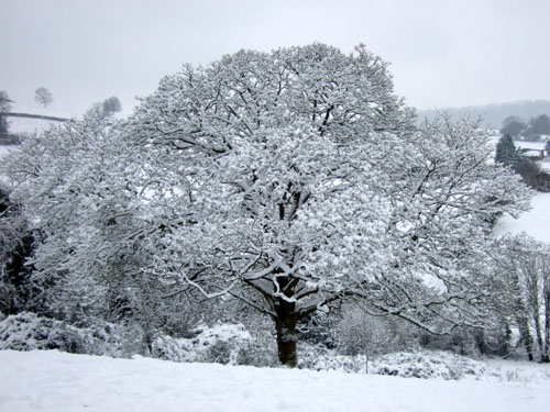 Snowy Tree in Snowy Bath January 2013