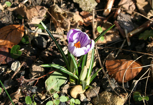 First Crocuses of Spring - Feb 2013
