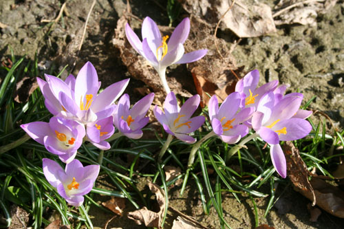 These crocuses have popped up in the cracked pavement on our driveway!