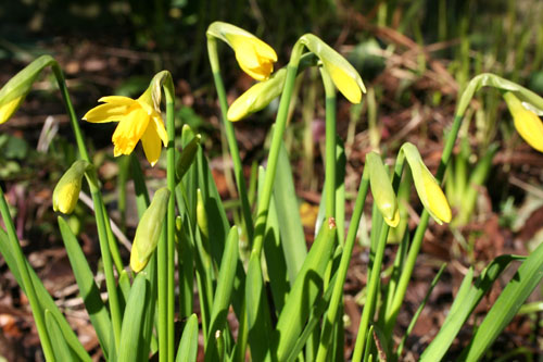 First Narcissus of Spring - February 2013 - 500