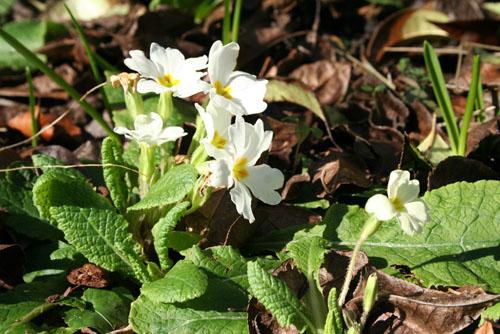 First Primroses of Spring - Feb 2013 - 500