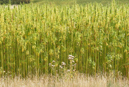 Hemp Crop in Peasenhall Road, Walpole, UK 500