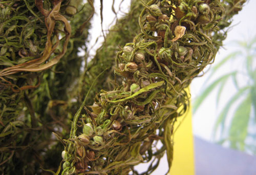 Hemp seeds on plant 500