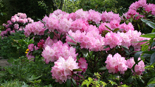 Rhododendrons at Wisley in May