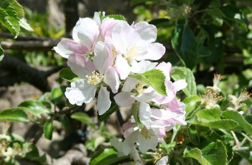 Apple Blossom - May-June 2013