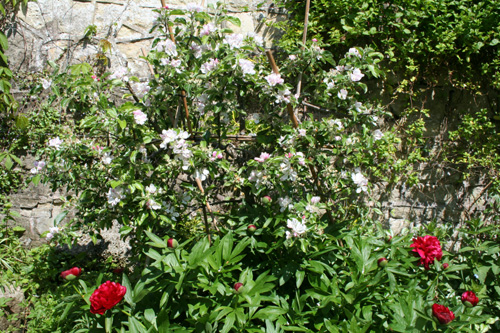 Apple Tree & Peony - May-June 2013