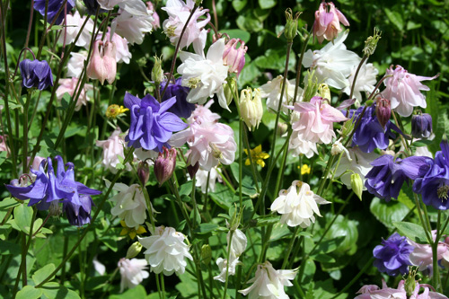 Aquilegia - June 2013