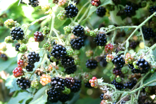 Blackberries 3