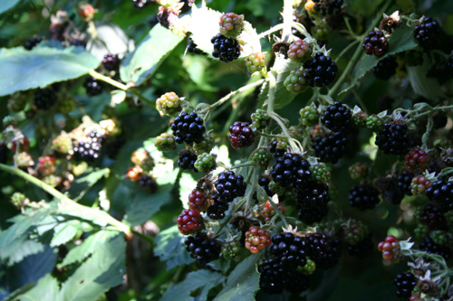 Blackberries 4