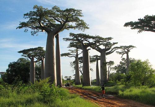 Avenue of Baobab Trees Madagascar