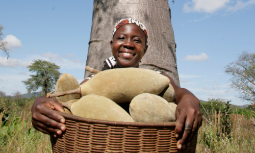 Baobab Fruit Phyto Trade Africa