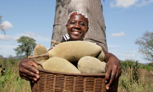 Baobab Fruit Phyto Trade Africa