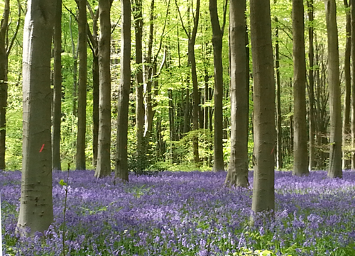 Bluebell Woods Clatford