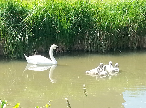 Swans and cygnets - K&A Canal - June